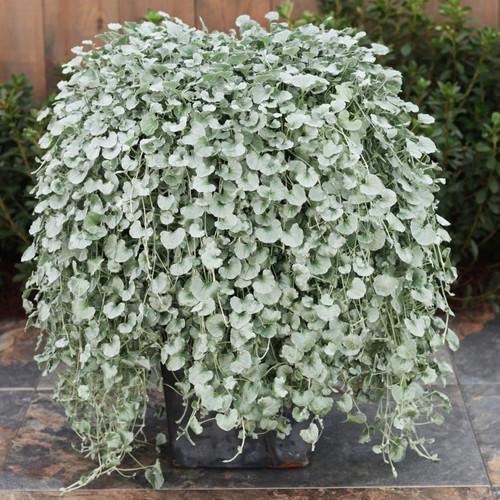 Large Proven Accents Silver Falls Dichondra Plant in Patio Planter