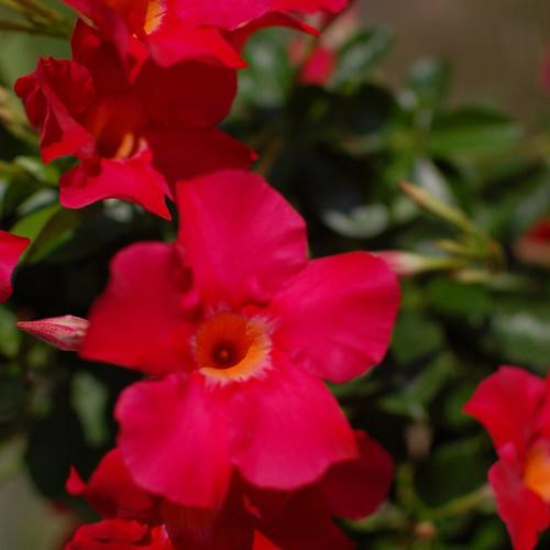 Sundenia® Coral Dipladenia Flower Petals