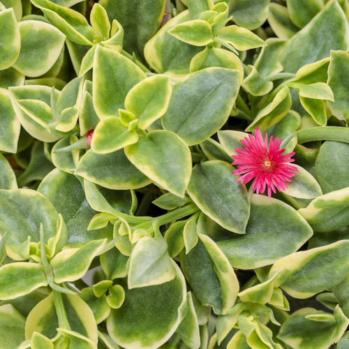 Proven Accents® Mezoo Trailing Red Livingstone Daisy Foliage and Flower