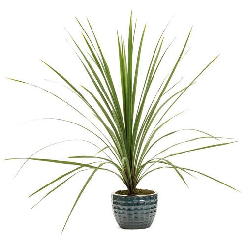 Proven Accents® Spikes Dracaena in Decorative Pot