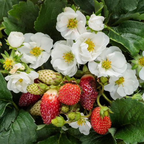 Berried Treasure® White Strawberry Flowers Foliage Fruit