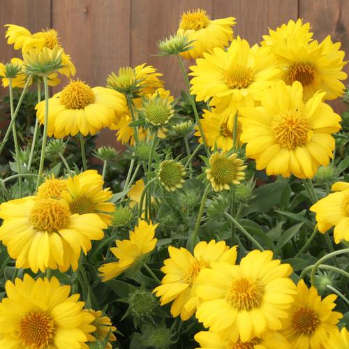 Heat it Up® Yellow Blanket Flower Plants Blooming