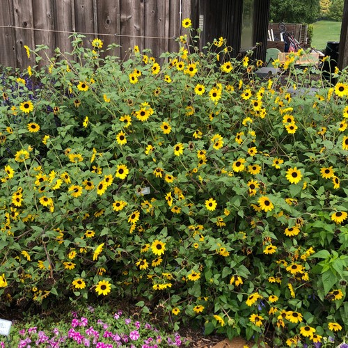 Suncredible® Yellow Sunflower in the Garden