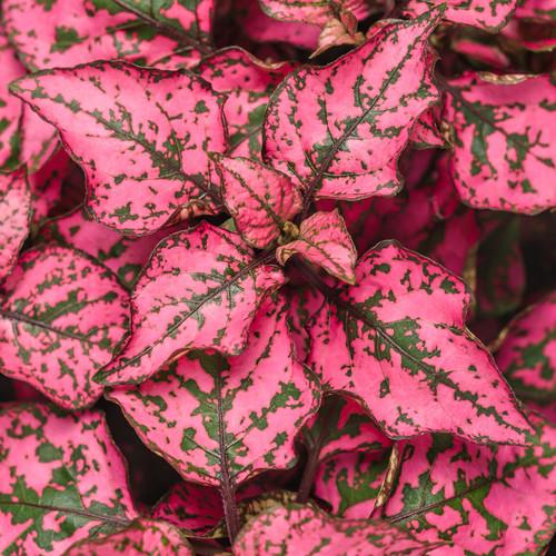 Hippo Rose Polka Dot Plant Leaves