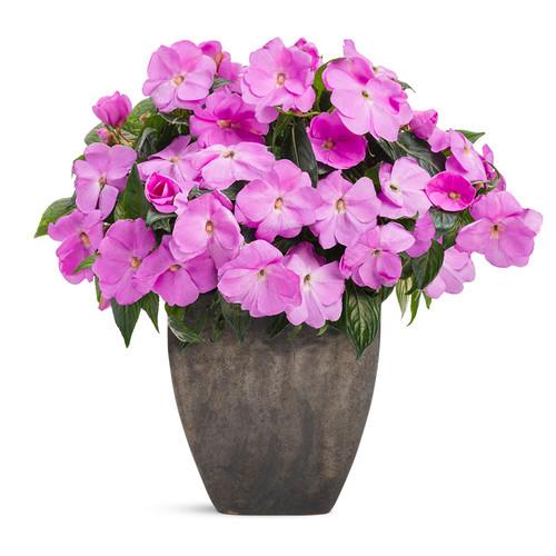 Infinity  Lavender Impatiens In a decorative pot