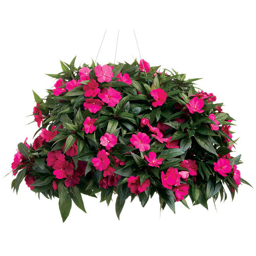 Infinity Light Purple Impatiens Growing in Hanging Basket