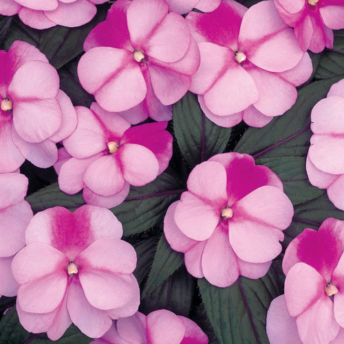 Infinity® Pink Frost Impatiens Flowers and Foliage