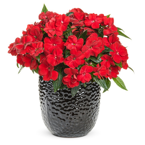 Infinity® Red Impatiens in Black Planter