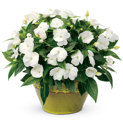 Infinity White Impatiens In a decorative yellow pot