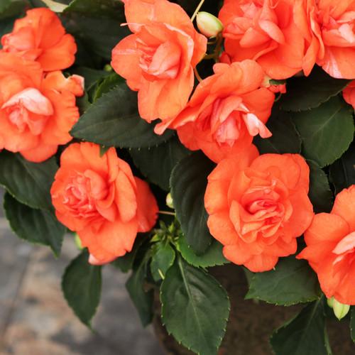 Rockapulco® Orange Impatiens Flowers and Foliage