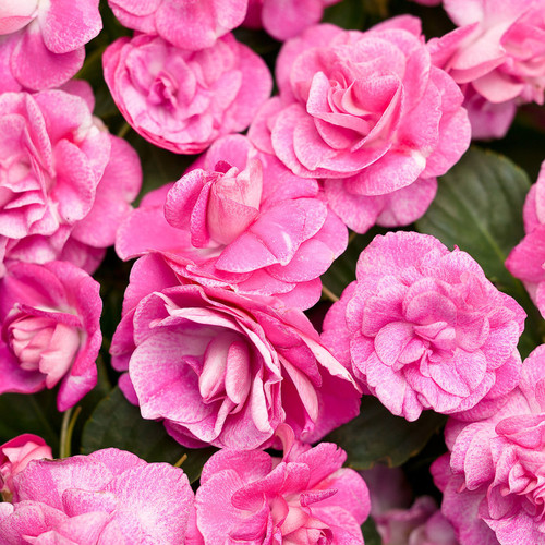 Rockapulco Rose Impatiens Flowers Close Up