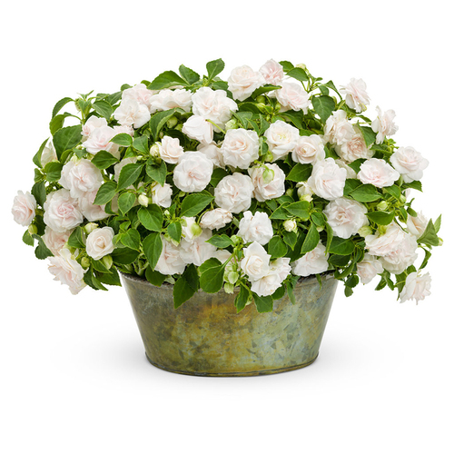 Rockapulco White Impatiens In a decorative pot