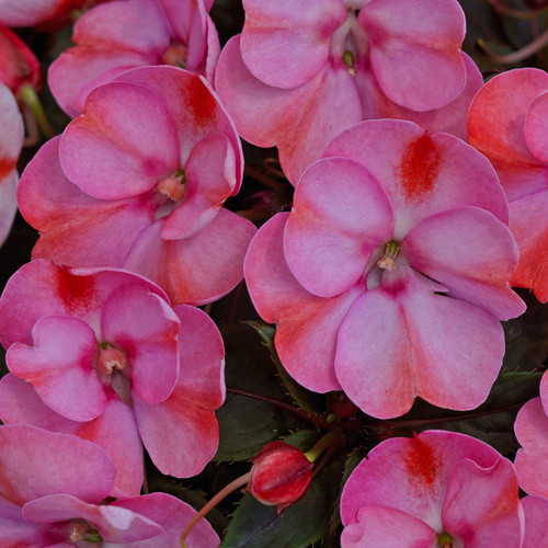 SunPatiens® Compact Pink Candy Impatiens Flowers and Foliage