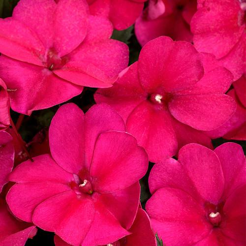 SunPatiens Compact Royal Magenta Impatiens Flower