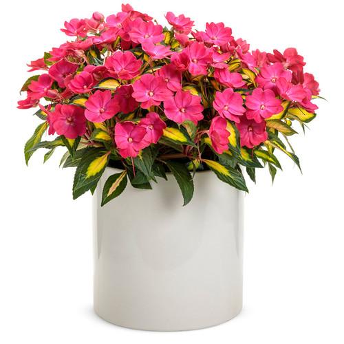 SunPatiens® Compact Tropical Rose Impatiens In a white pot