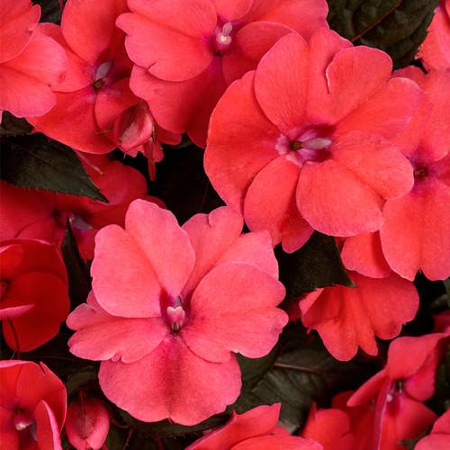 SunPatiens®Compact Deep Rose Impatiens Flowers