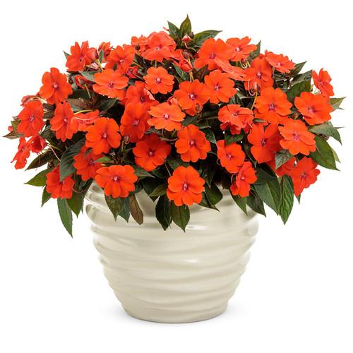 SunPatiens® Compact Orange Impatiens In a  white pot