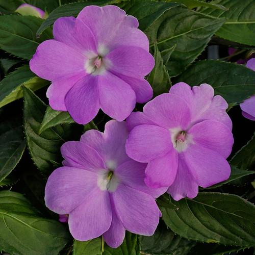 SunPatiens Compact Orchid Impatiens Flowers and Foliage