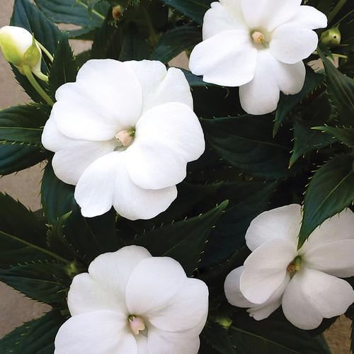 SunPatiens®Compact White Impatiens Flowers and Foliage