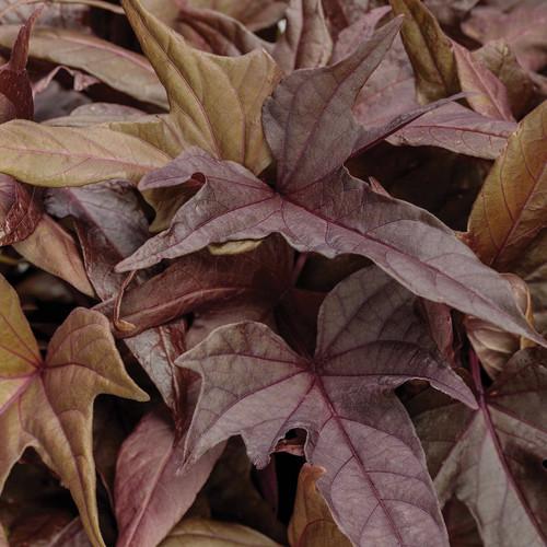 Sweet Caroline Red Hawk Sweet Potato Vine Foliage