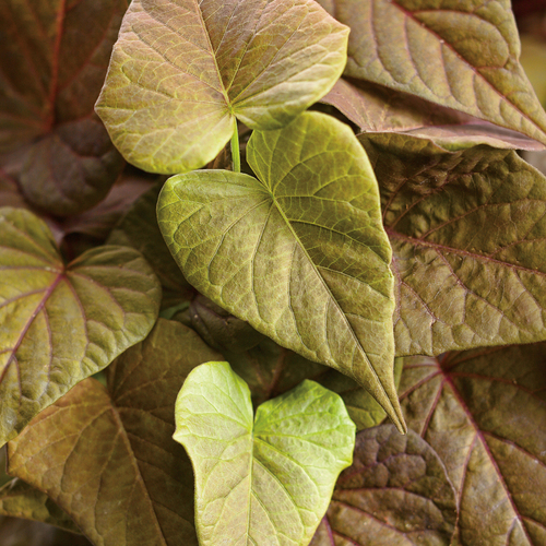Sweet Caroline Sweetheart Red Sweet Potato Vine Foliage