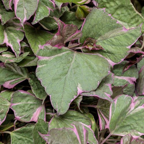 Proven Accents® Tricolor Sweet Potato Vine Foliage