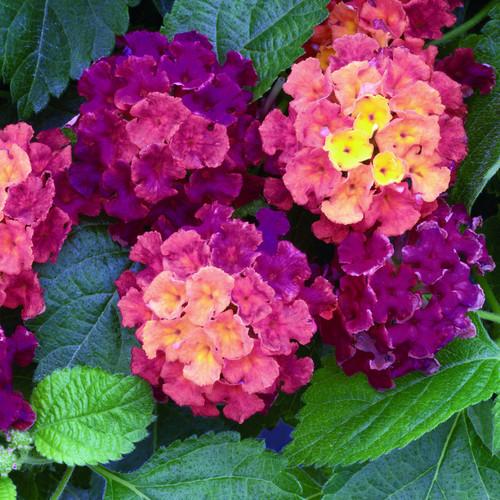 Bandana® Cherry Lantana Flowers and Foliage