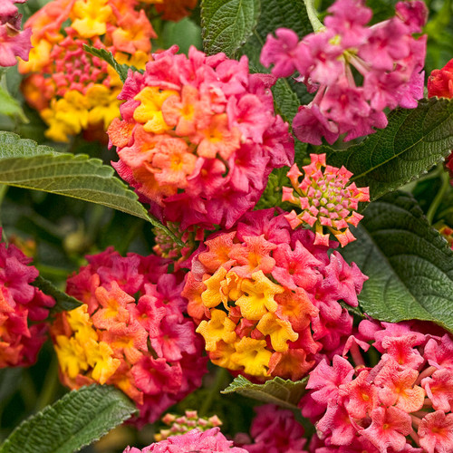 Luscious® Berry Blend Lantana flowers and foliage