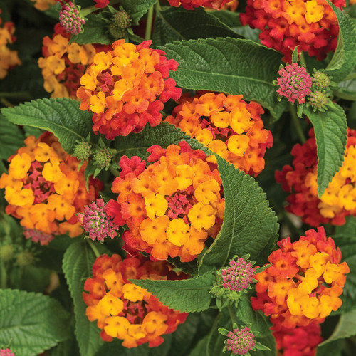 Luscious® Citrus Blend Lantana Flowers and Foliage