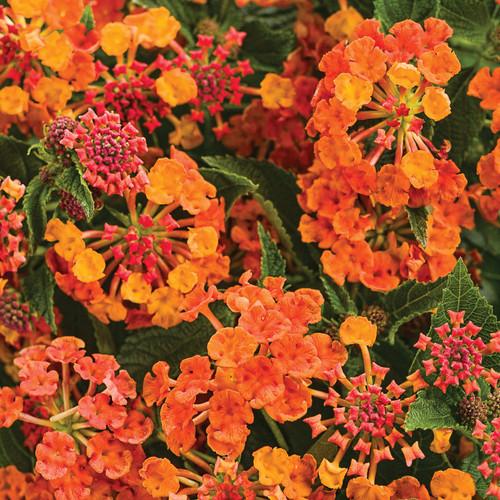 Luscious® Marmalade Lantana Flowers and Foliage