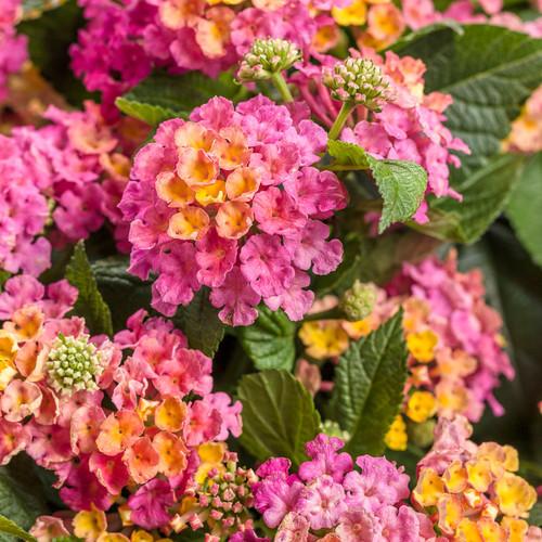 Luscious® Royale Cosmo Lantana Flowers and Foliage