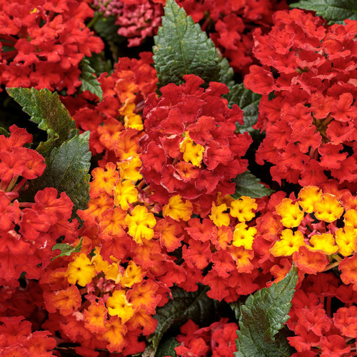 Luscious® Royale Red Zone Lantana Flowers and Foliage