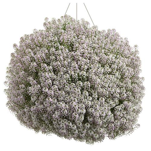 Blushing Princess Sweet Alyssum Covered in Blooms in Hanging Basket