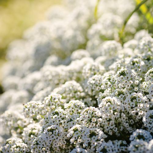 Snow Princess® Sweet Alyssum in the sunlight