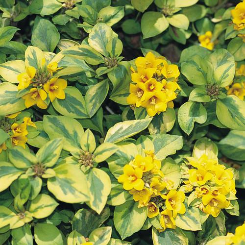 Waikiki Sunset Lysimachia Plant