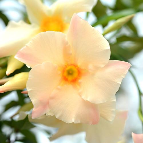 Sun Parasol® Apricot Mandevilla Flower Petals