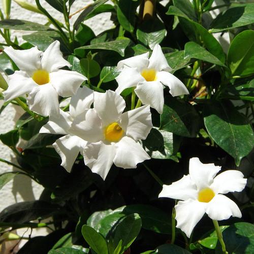 Sun Parasol® Giant White Mandevilla Flowers and Foliage