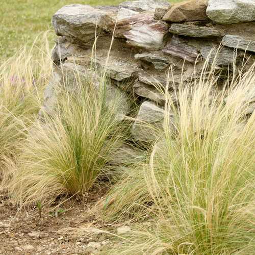 Mexican Feather Grass in Garden Border Landscaping