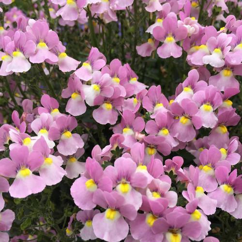 Aromance Pink Nemesia Flowers and Foliage Close Up