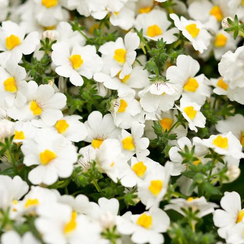 Sunsatia® Coconut Nemesia Flowers and Foliage
