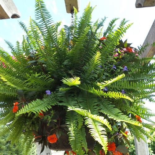 Large Kimberley Queen Fern in Hanging Patio Basket