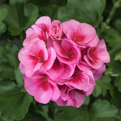 Americana Rosa Mega Splash Zonal Geranium Flower and Foliage