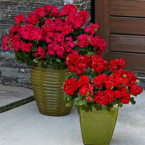 Boldly® Dark Red Geranium in Patio Planters