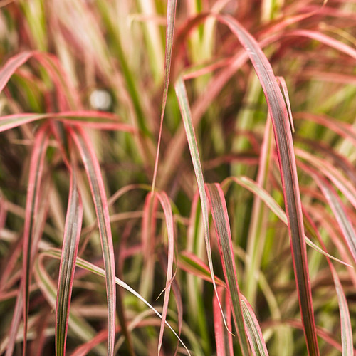 Graceful Grasses Fireworks Variegated Red Fountain Grass Blades Leaves Close Up