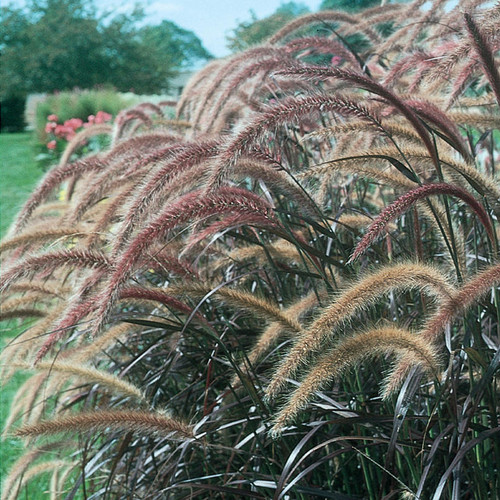 Graceful Grasses® Purple Fountain Grass Seed Heads and Blades