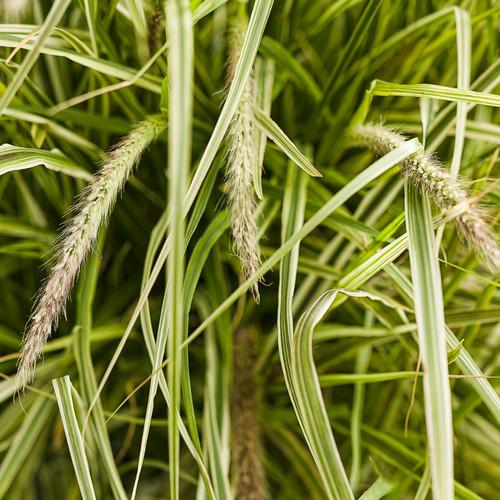 Graceful Grasses® Sky Rocket Fountain Grass Seed Heads