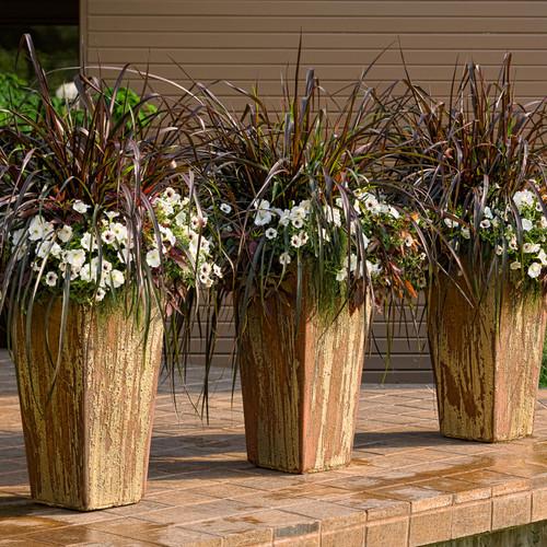 Graceful Grasses® Vertigo® Purple Fountain Grass in Patio Planters