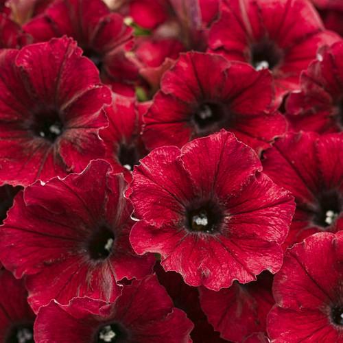 Supertunia Black Cherry Petunia Flowers Close Up