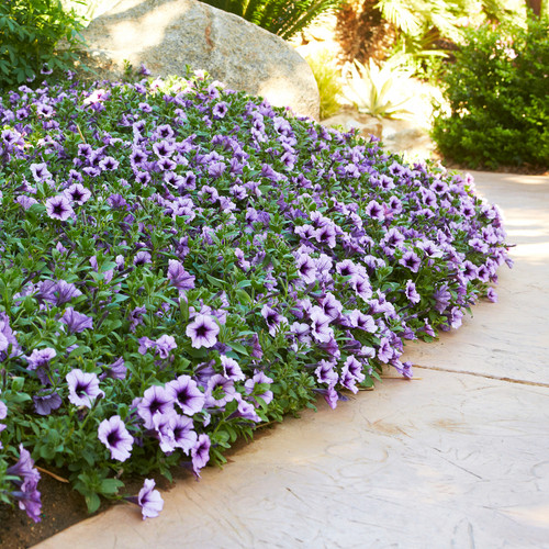 Supertunia Bordeaux Petunia as garden border next to garden path