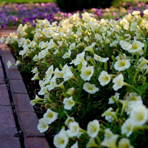 Supertunia® Limoncello® Petunia Growing Next to Garden Path